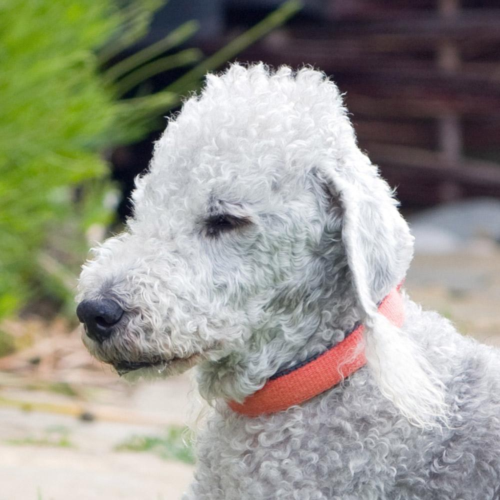 Terrier Pedigrees