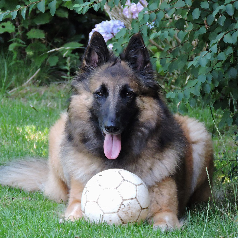 Belgian Tervuren… Everything You Need to Know at a Glance!