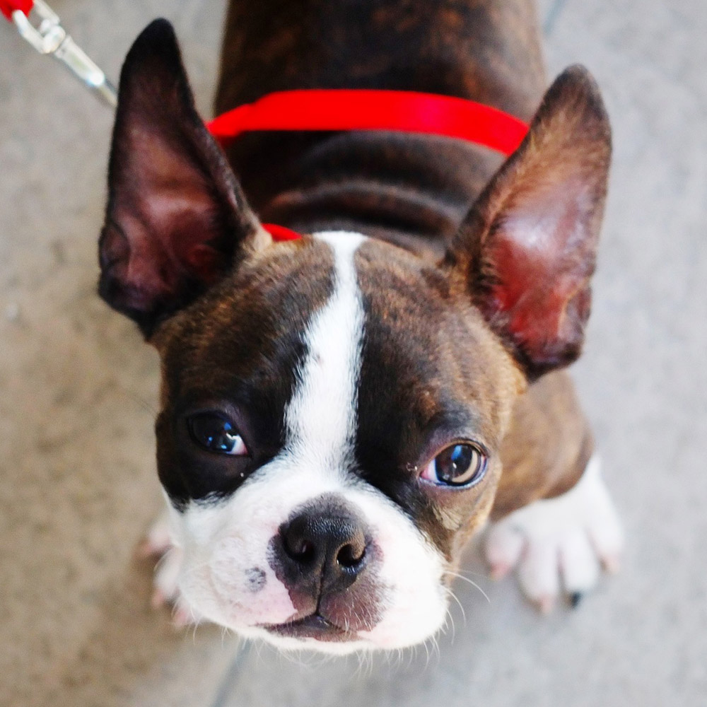 boston terrier average weight boston terrier pedigree database 8264