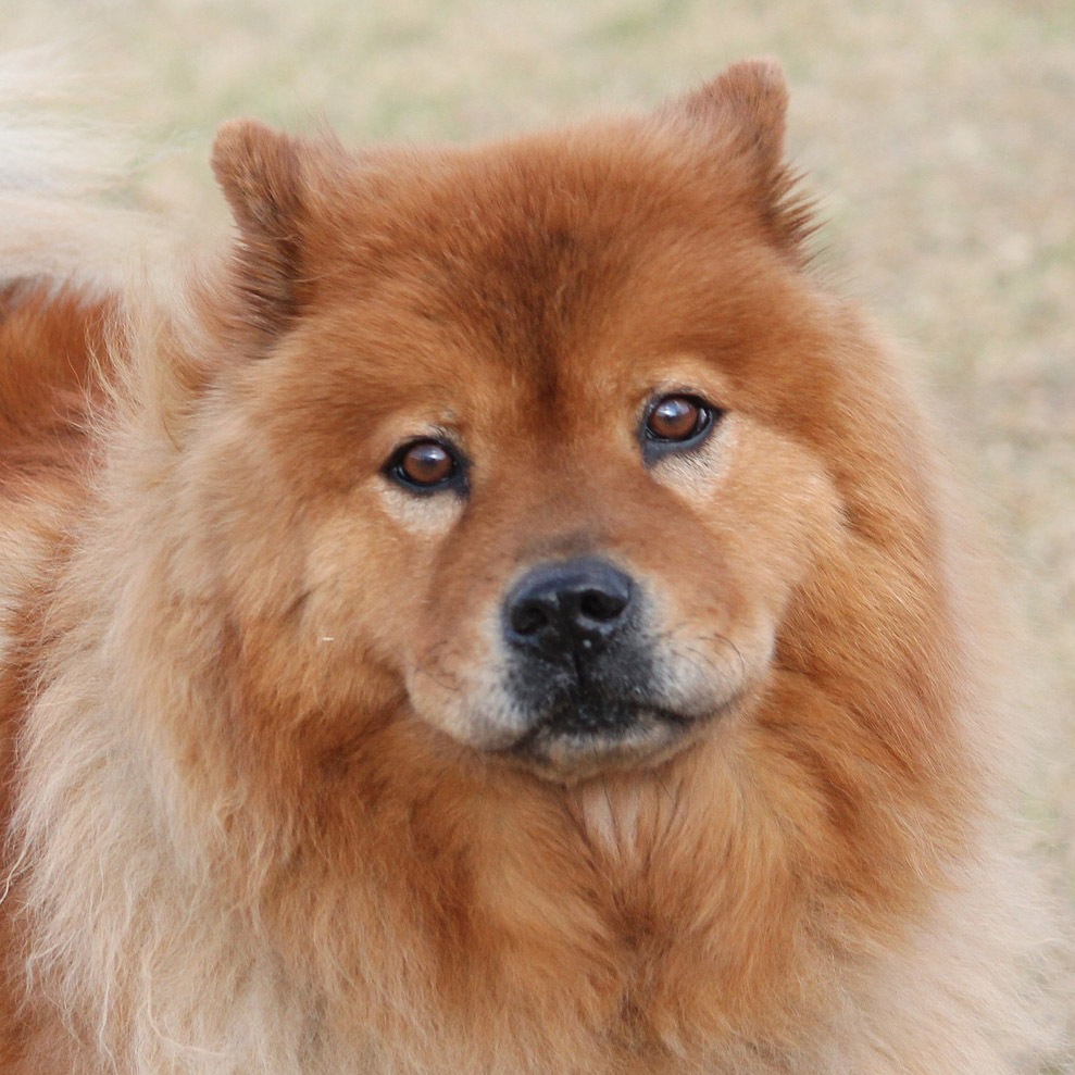 Chow Chow Pedigree Database