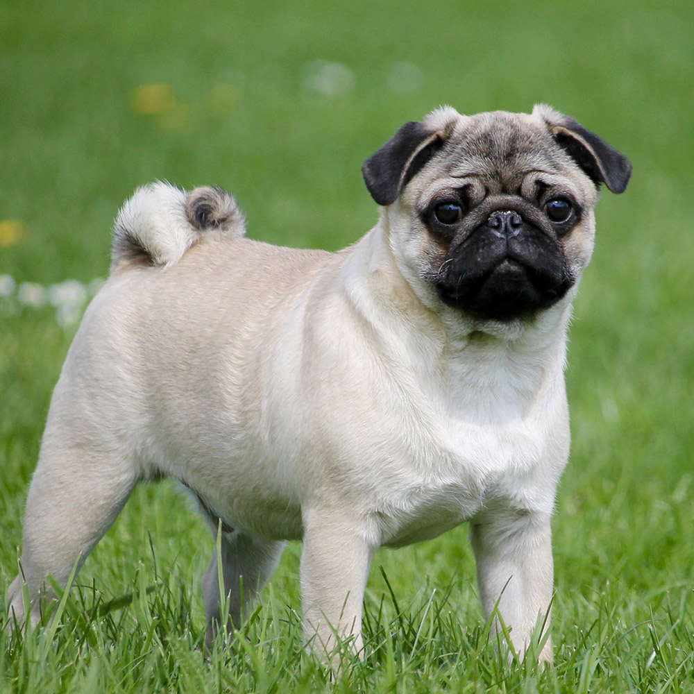 what is the lifespan of a pug pug pedigree database 2147